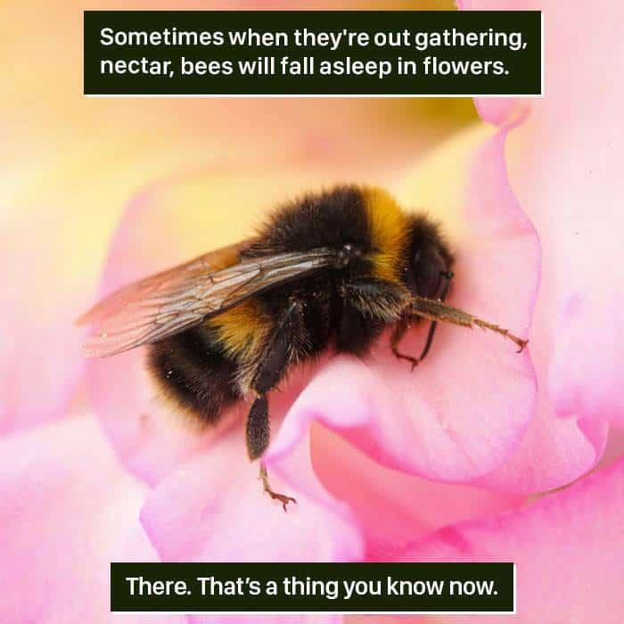 Weird Animal Facts bees fall asleep
