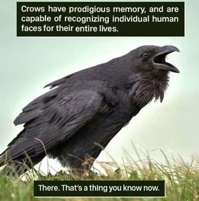 Weird Animal Facts crows