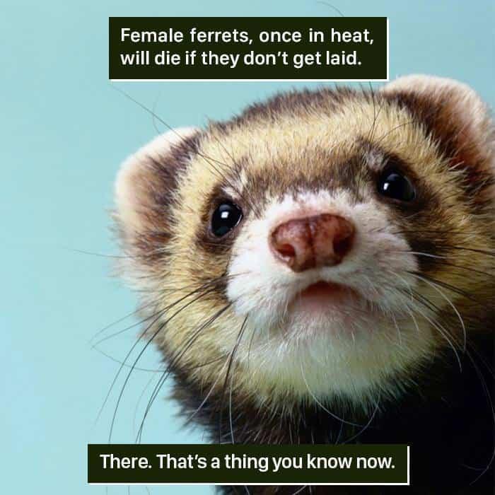 Weird Animal Facts female ferrets