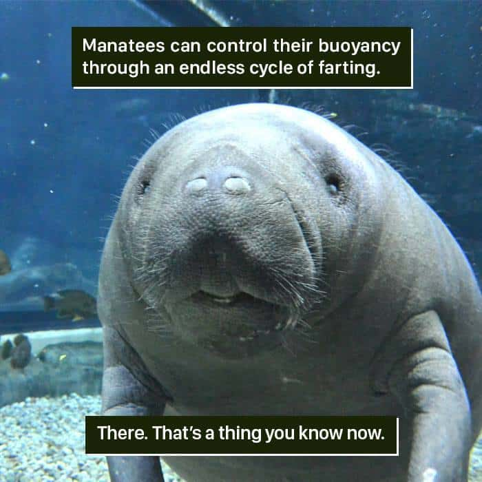 Weird Animal Facts manatees farting