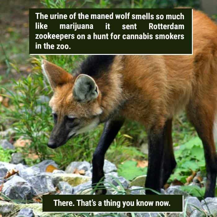 Weird Animal Facts maned wolf