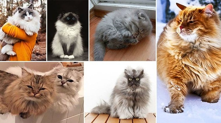 Fluffiest Cats You've Ever Seen