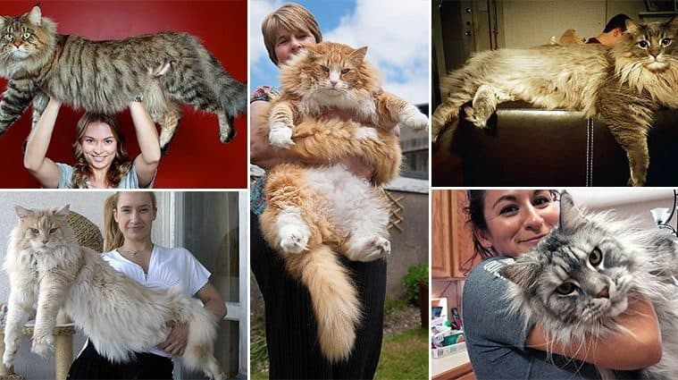 Maine Coon Cats That Dwarf Your Average Household Kitty