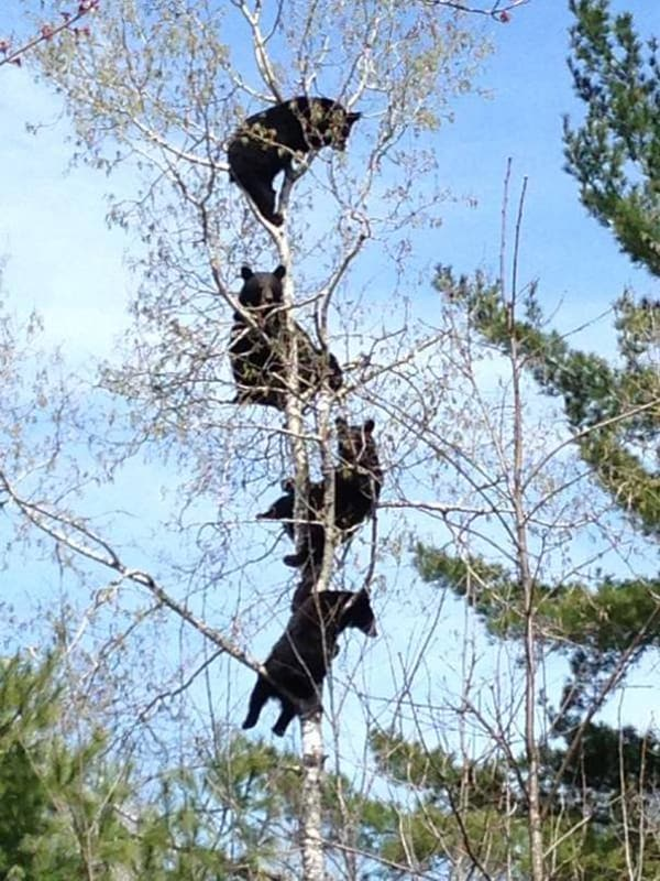 Pics Or It Didn't Happen bears climbing trees
