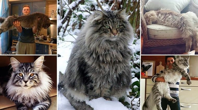 Maine Coon House Cat Weight