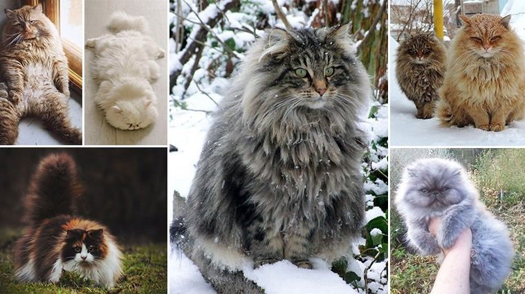 The Fluffiest Cats You've Ever Seen