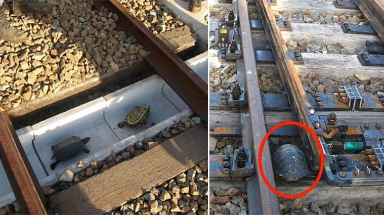 This Railway Company In Japan Built Special Tunnels Specifically For Turtles