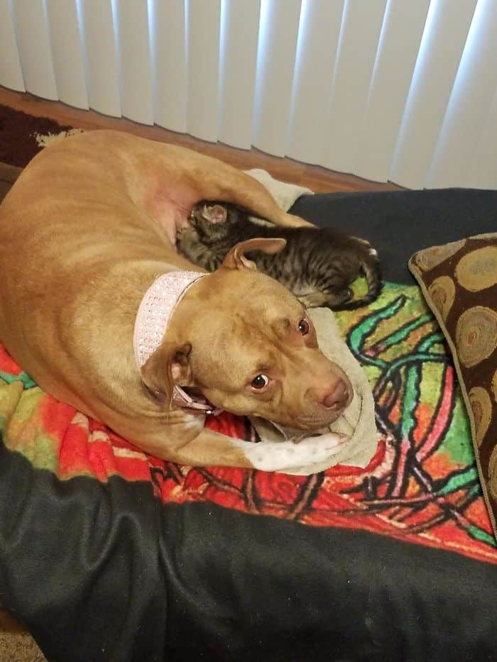 Heroic Dogs dog nursing cat