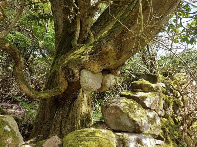 old-tree-holding-stones