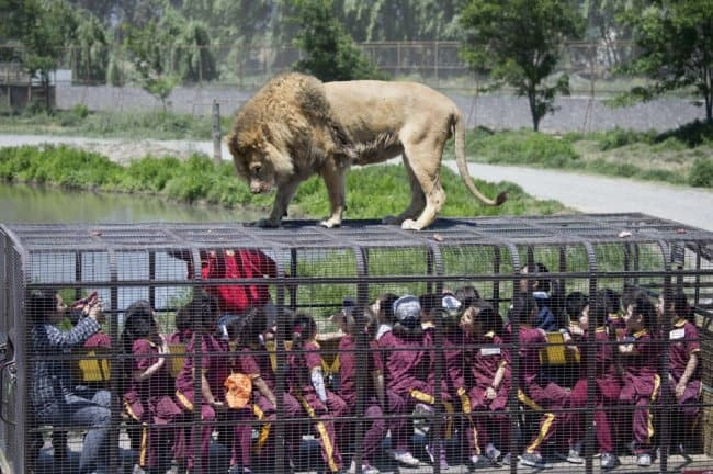 caged-like-a-lion