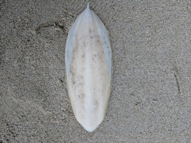 cuttlebone-found-in-beach
