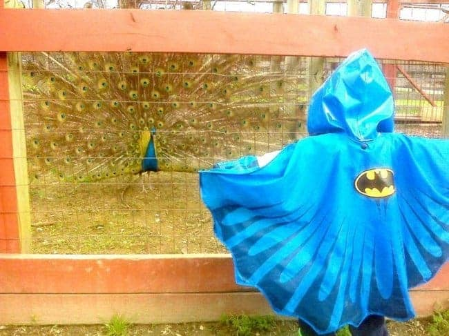 batman-versus-peacock