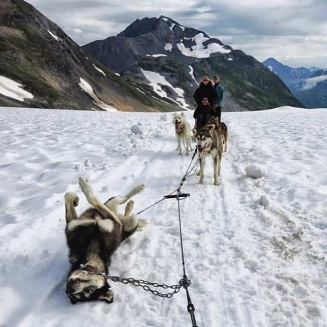 alaskan-husky-takes-a-break-from-sledding-meaningful-pictures