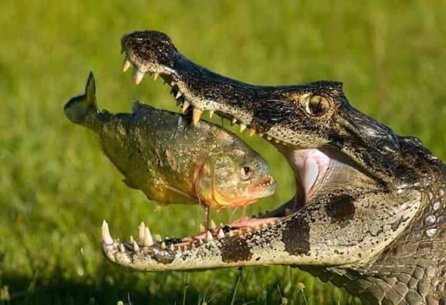 alligator_eating_piranha