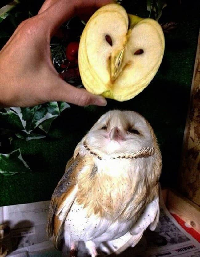 apple_and_owl_look_alike