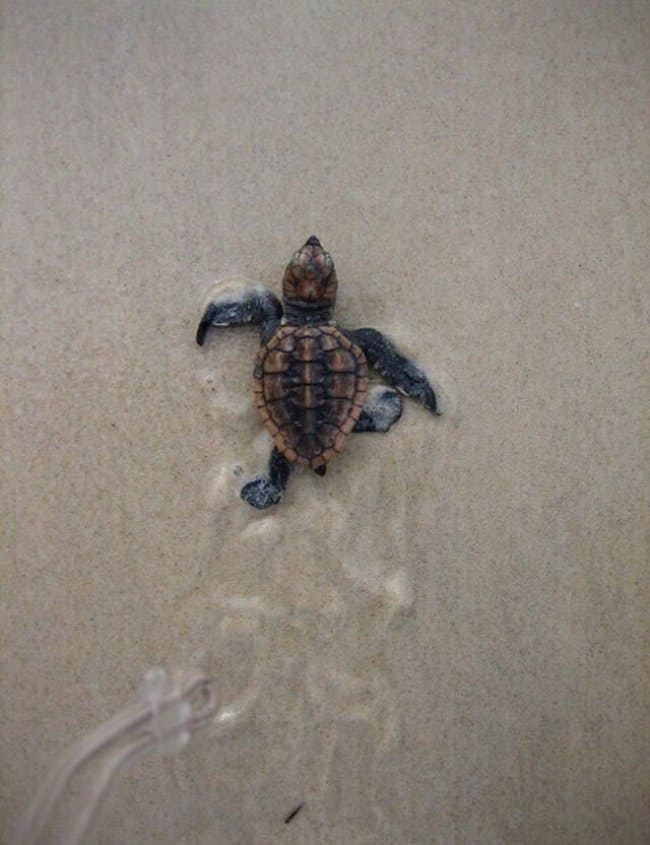 baby-sea-turtle-starts-journey-meaningful-pictures