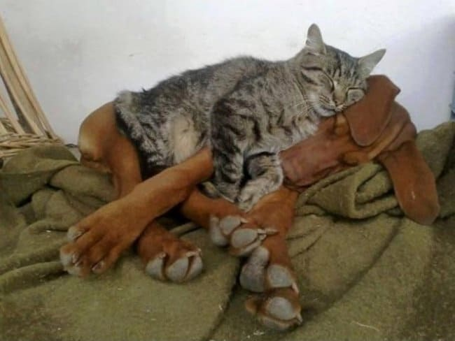 cat_sleeps_on_the_dog