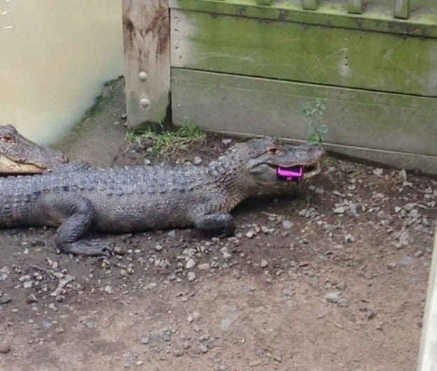 cell-phone-eaten-by-a-crocodile