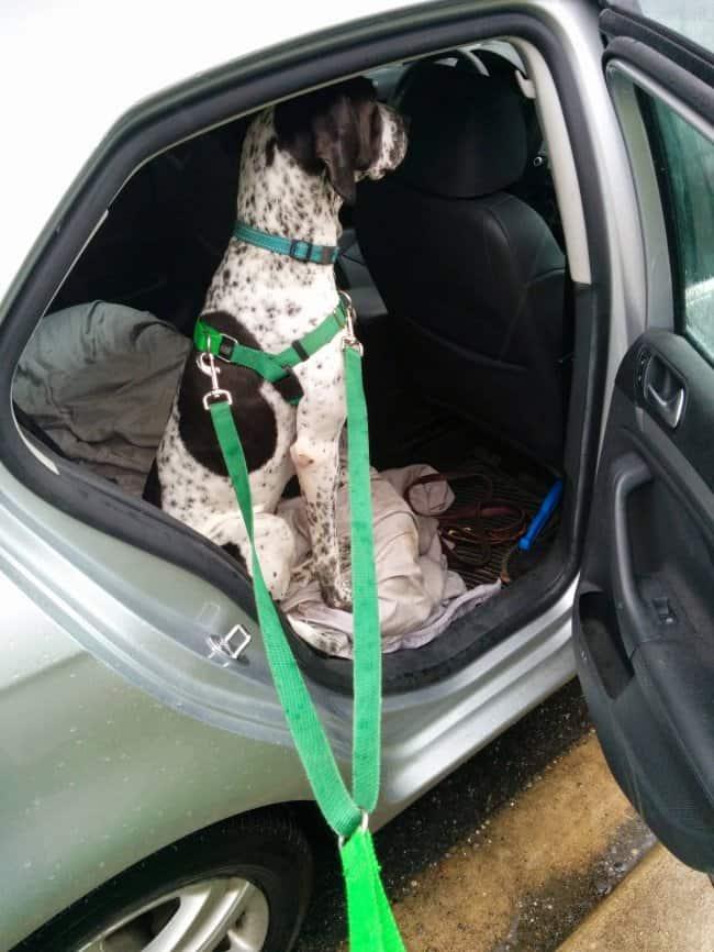 dalmatian-on-a-leash-sitting-inside-the-car