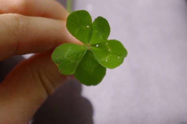 five-leaf-clover