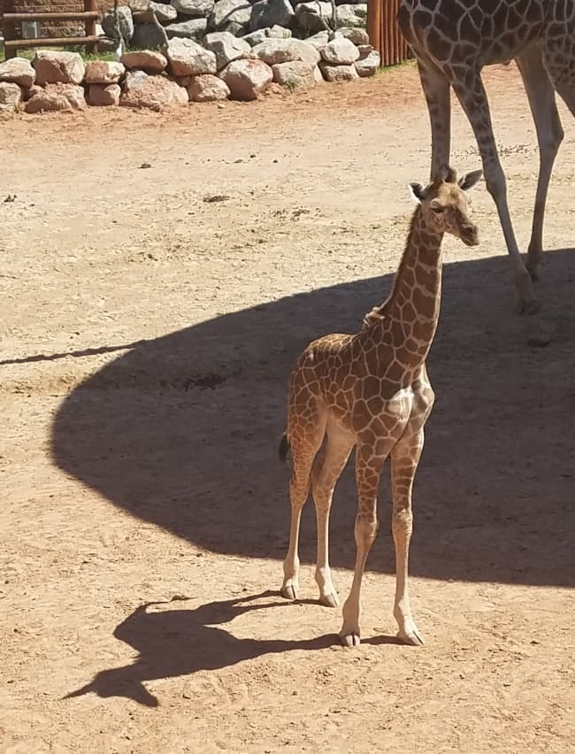 giraffe-casts-unicorn-shadow-tricky-pictures