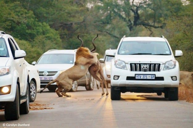 lion-attacking-a-kudu-in-kruger-park