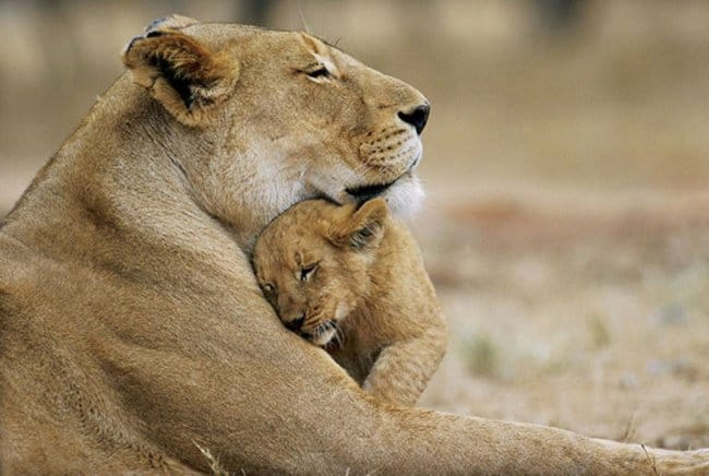 lion-motherly-love-meaningful-pictures