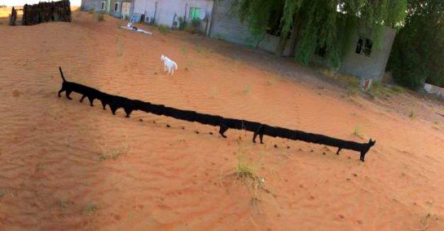 long-black-cats