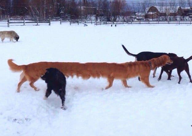 long-brown-dog