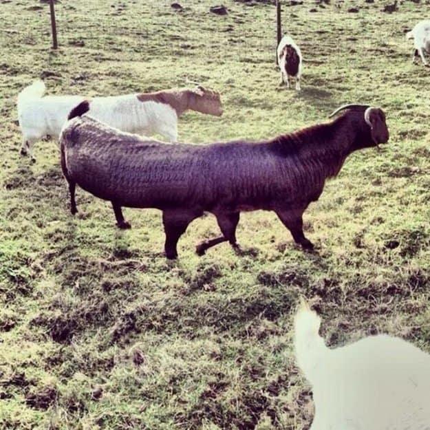 long-goats