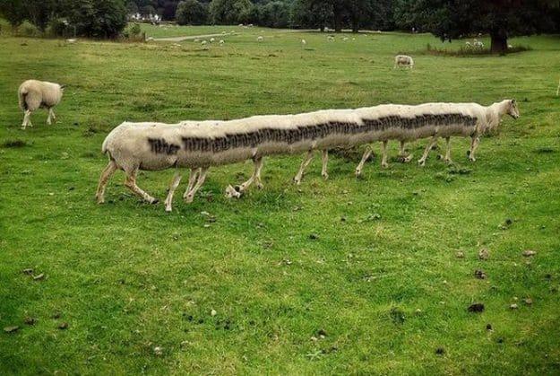 long-sheep