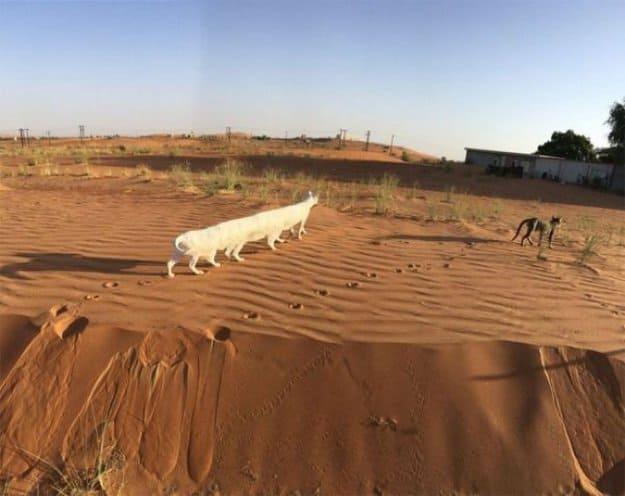 long-white-cat