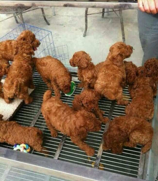 puppies-look-like-fired-chicken-tricky-pictures