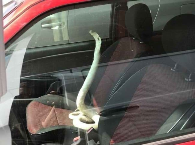 snake_inside_the_car