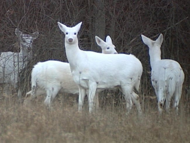 albino-deer-rare-photo-extraordinary-things