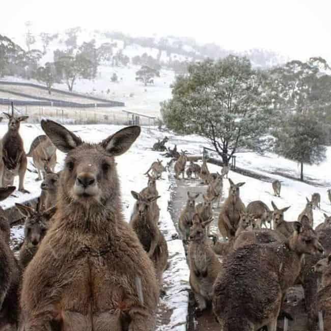 animals-in-a-snow-field-in-australia
