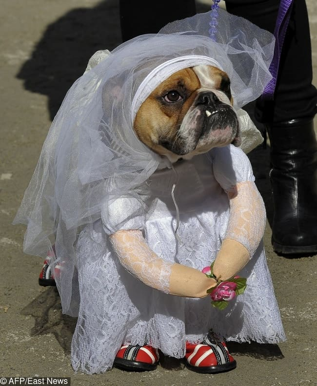 bulldog-wearing-a-wedding-dress