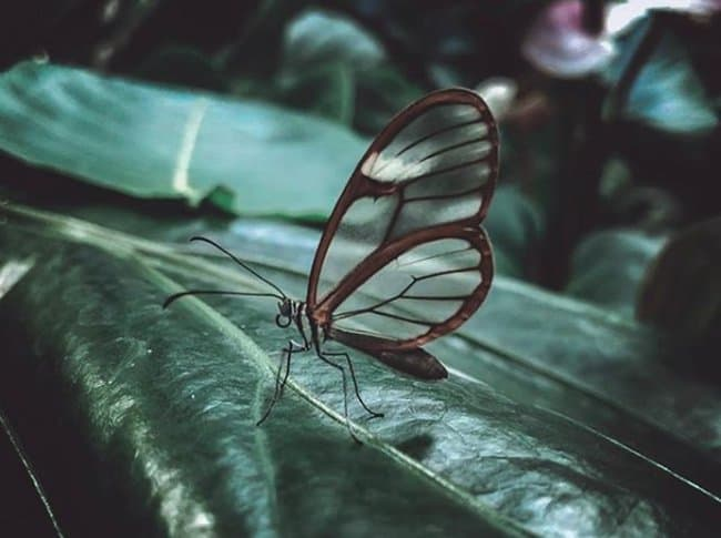 butterfly-with-transparent-wings-rare-things-pictures