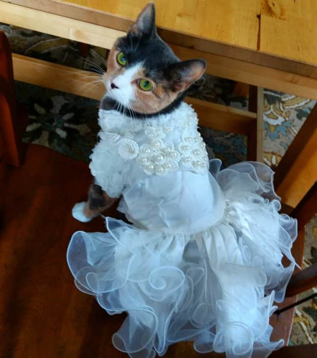 cat-wearing-a-wedding-dress