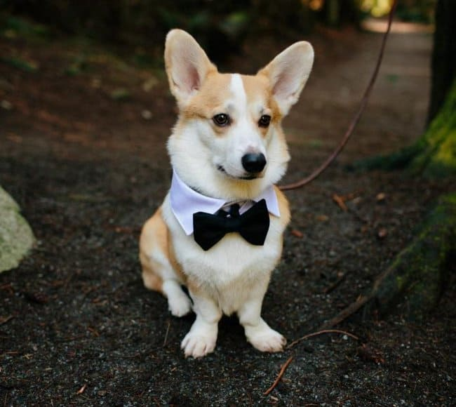 corgi-wearing-a-wedding-bow-tie