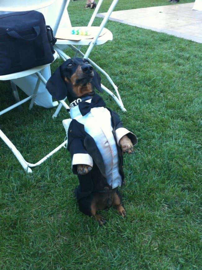 daschund-wearing-a-tuxedo