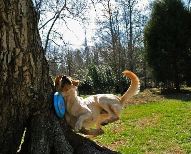 dog-catching-frisbee-hits-a-tree-photos-captured-before-disaster-struck