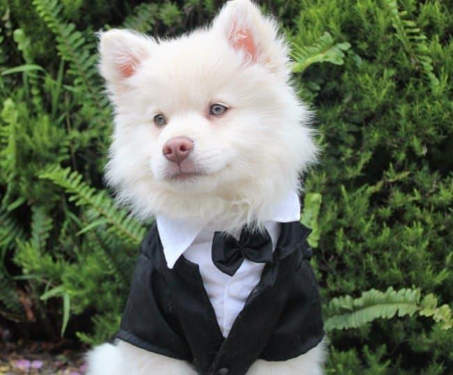 dog-wearing-a-tuxedo
