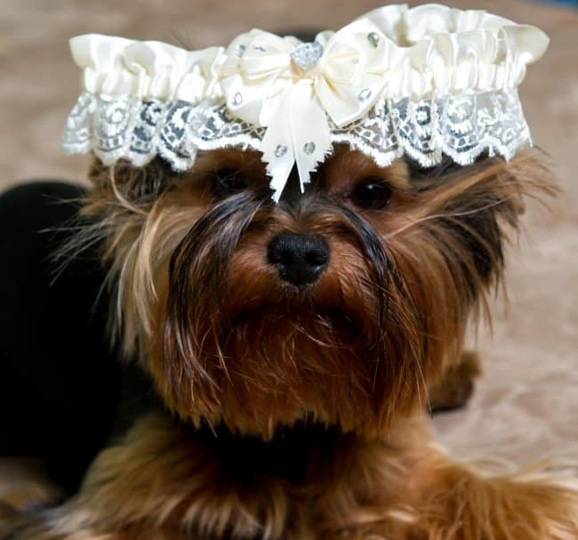 dog-wearing-a-wedding-garter