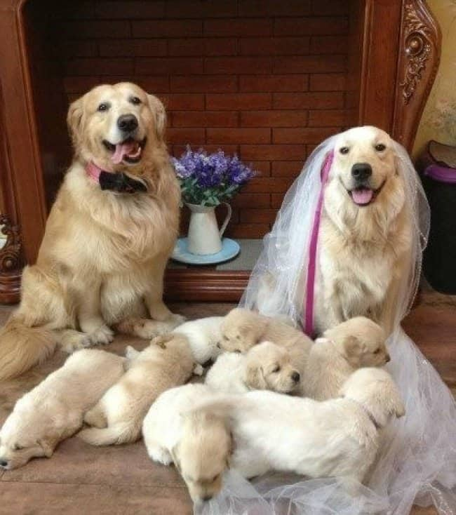 dogs-wearing-bow-tie-and-veil-with-puppies