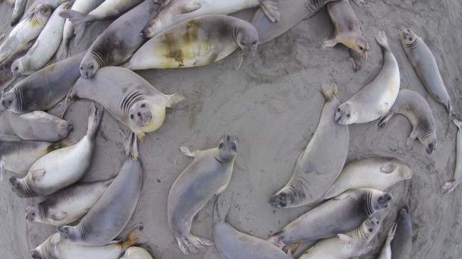 elephant-seals