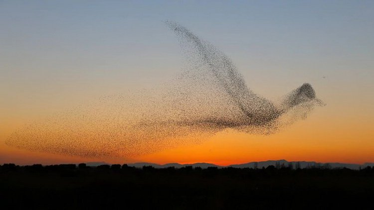 flock-of-flying-starlings-forming-a-bird