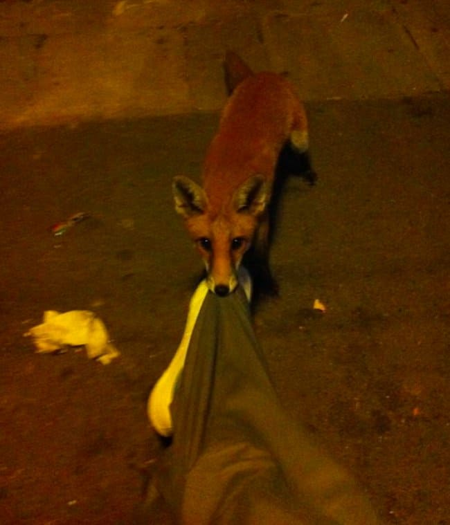 fox-pulling-a-mans-pants
