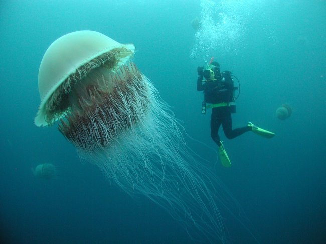 jellyfish-human-size-real-things-that-actually-exist