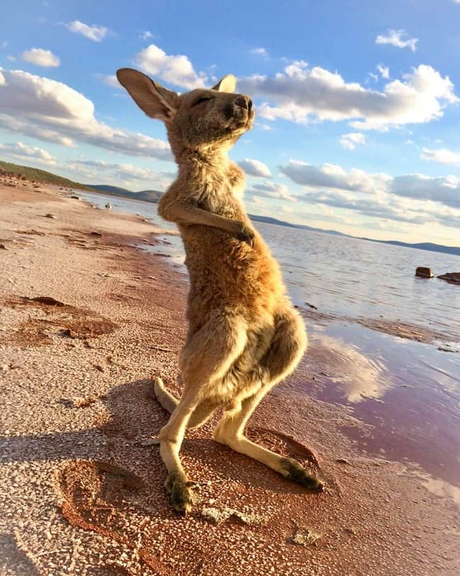 kangaroo-enjoying-the-sun-heartwarming-photos